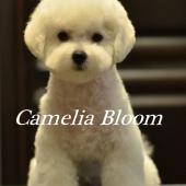 девочка Бишон Фризе питомник Москва Camelia Bloom Italia