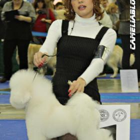 Папа щенков питомника Camelia Bloom 2011 г Let's Dance Tango Petit Ami