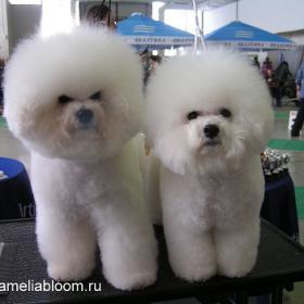 собаки породы бишон фризе