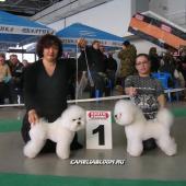 Бишон Фризе на Евразии 2011