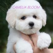 щенки бишон фризе Камелия Блум Эвелина