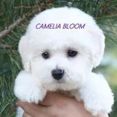 щенки бишон фризе Камелия Блум Элвин