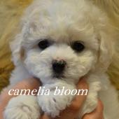 девочка Бишон Фризе питомник  Москва Camelia Bloom Infinity