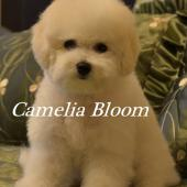 щенки Бишон Фризе девочка Camelia Bloom Izabella