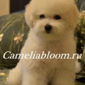 девочка Бишон Фризе питомник Camelia Bloom Москва