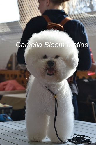 Бишон Фризе питомник Camelia bloom