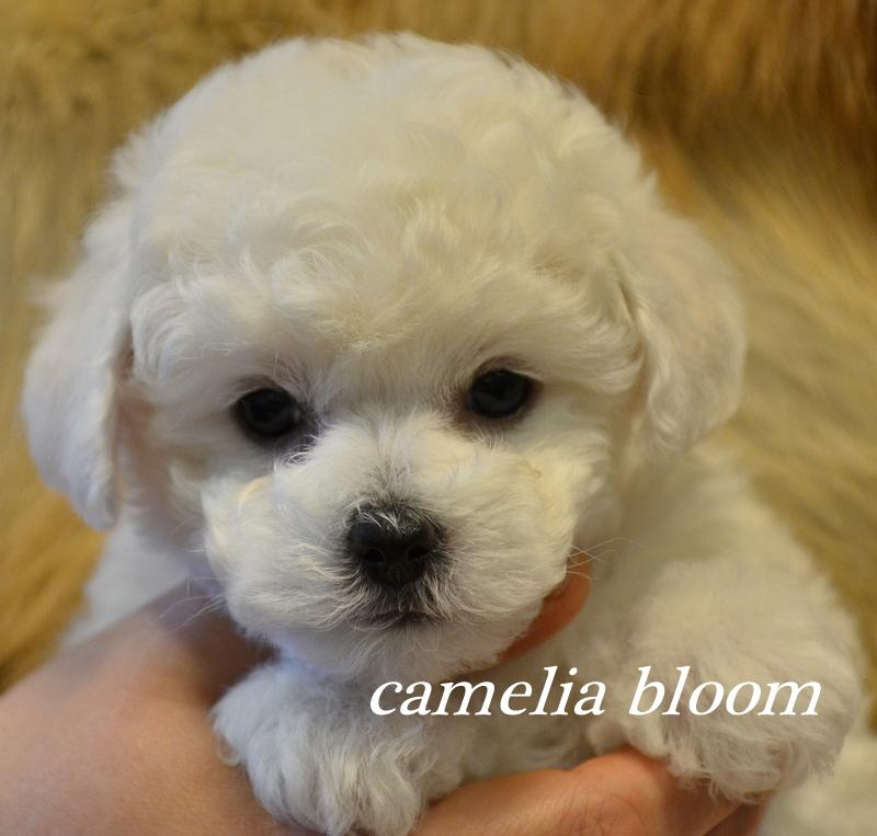 девочка Бишон Фризе питомник Москва Camelia bloom Italiy