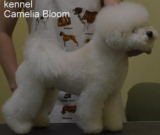 Камелия Блум Васо питомник Camelia Bloom Москва