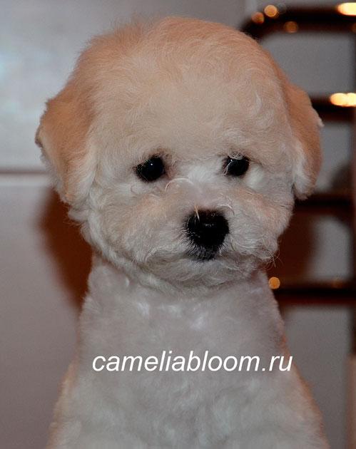 щенки Бишон Фризе питомник Camelia Bloom Москва