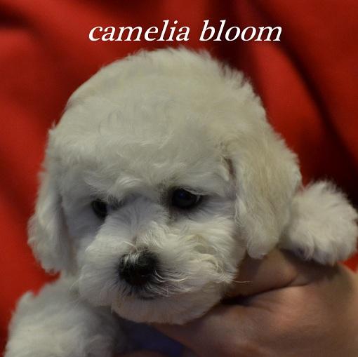 мальчик Бишон Фризе питомник Москва Camelia Bloom Ivaylo